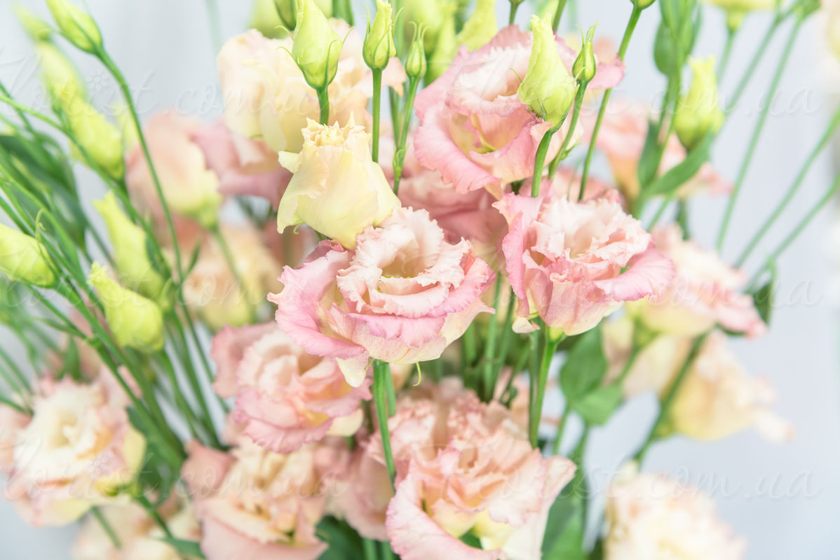 Send bouquet of 7 11 or 15 pink eustomas to kiev ukraine with eustoma is one of the most elegant and delicate flowers bouquet will be a nice gift izmirmasajfo